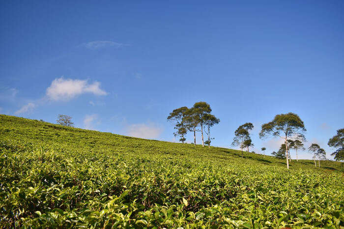 A tea garden in Dibrugarh, Assam