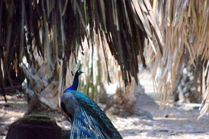 Peacock in Andaman