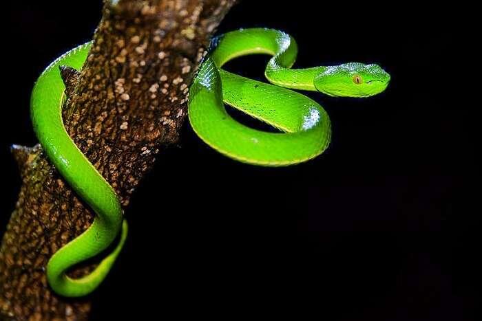 viper snake in dong phayayen-khao yai forest