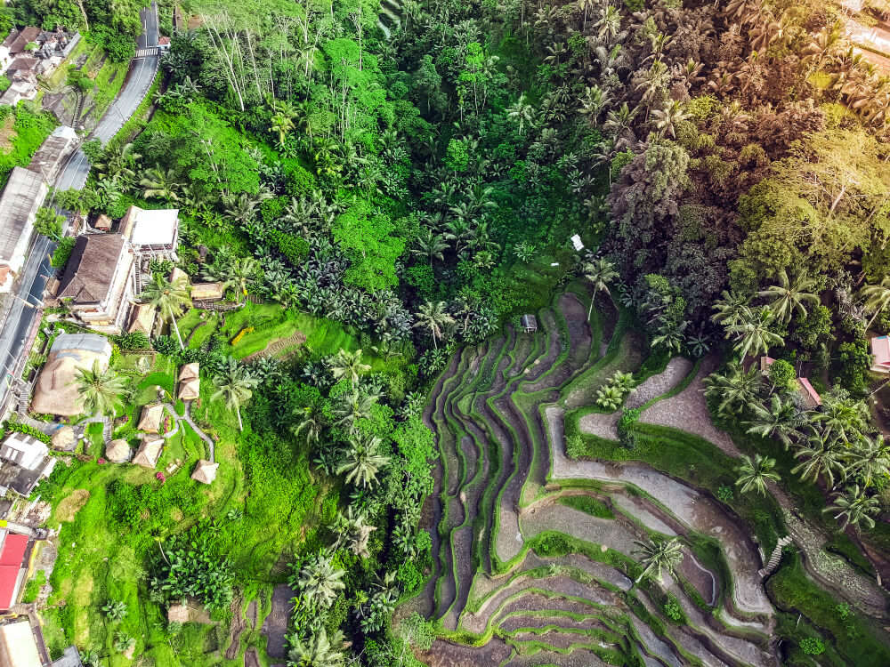 helicopter view of rice fields
