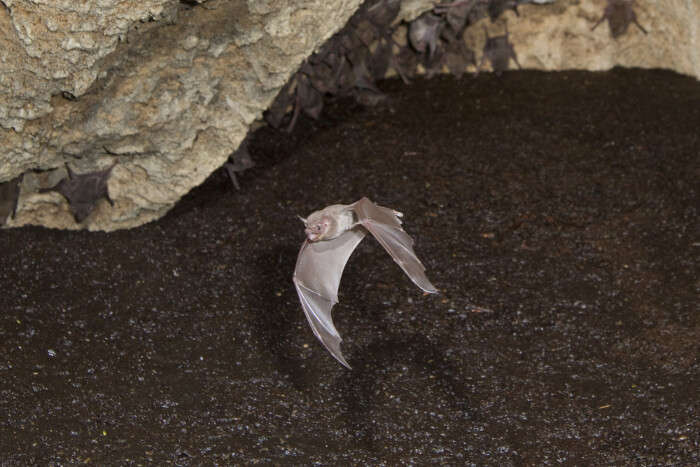 Bats found in the Silhouette National Park, Seychelles