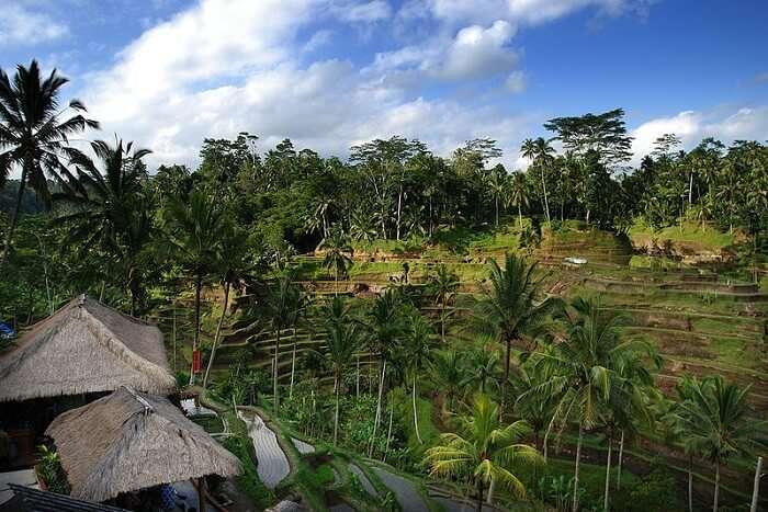 beautiful rice paddies