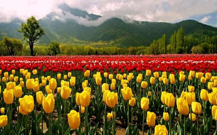 Tulip Festival in Jammu and Kashmir