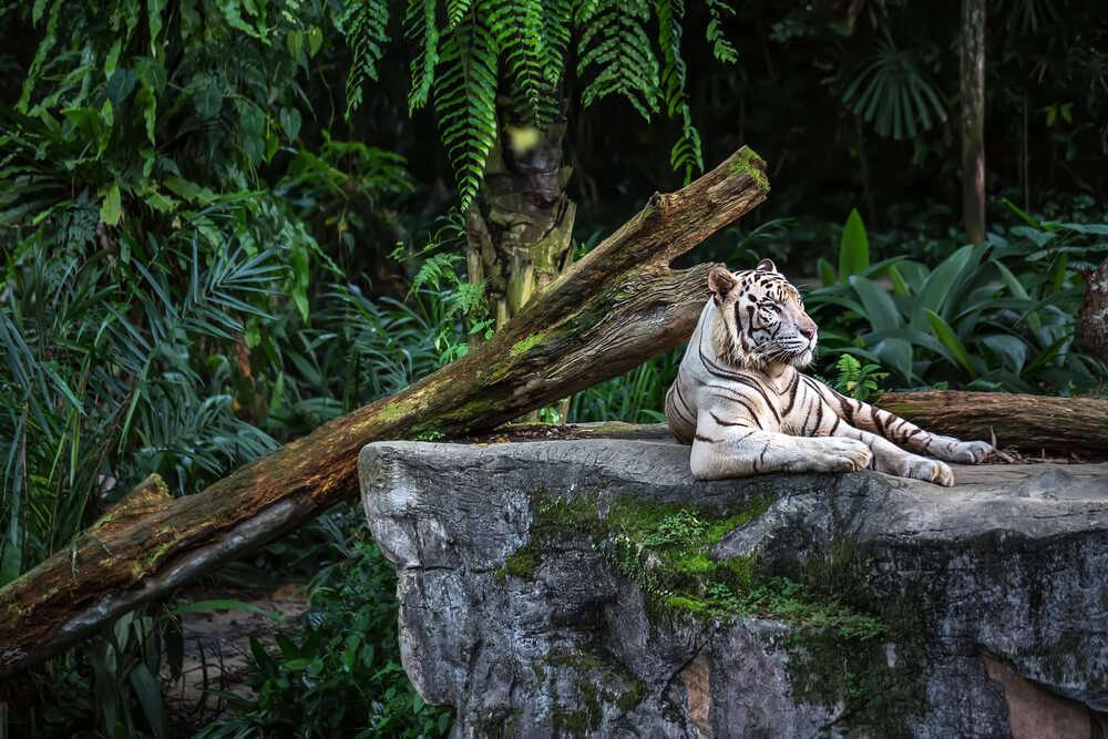 white tiger thrill