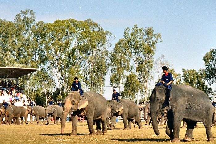 Witness the Surin Elephant Round-up