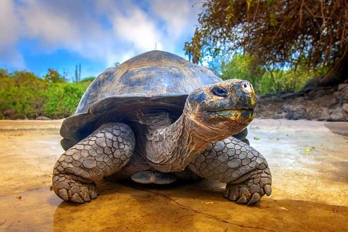 galapagos islands giant tortoise
