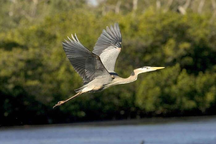 Bird Great Blue Flight Having Beautiful Herons