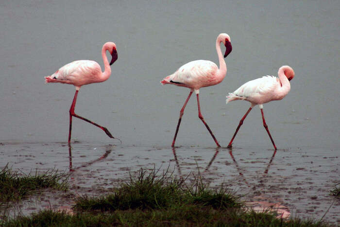 Flock of flamingos at Bundala National Park in Sri Lanka