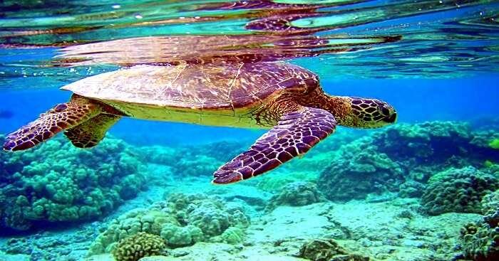 Chelonia mydas turtle in trincomalee