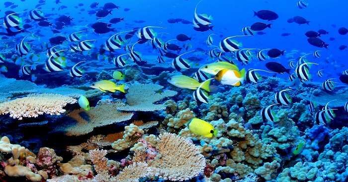 Barracuda reef fishes