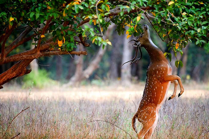 A deer in the Kaudulla National Park in Sri Lanka