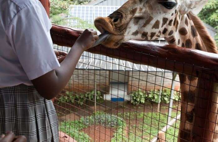 Man and Giraffe