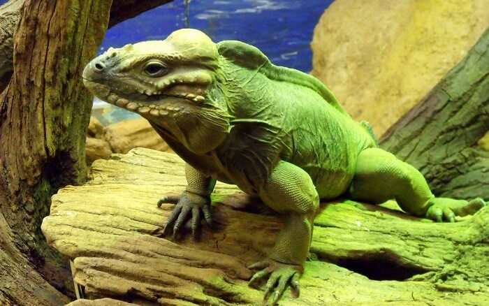 famous iguana specie found at the zoo