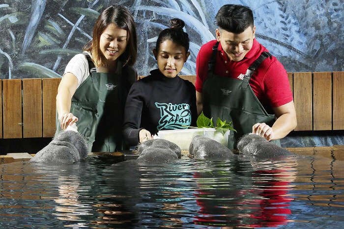 Manatee Mania, River Safari Singapore