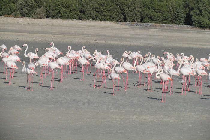 Flamingos in Ras Al Khor Park in Dubai