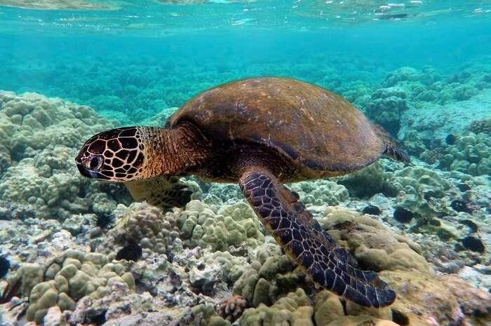 Turtles In Pulau Tengah