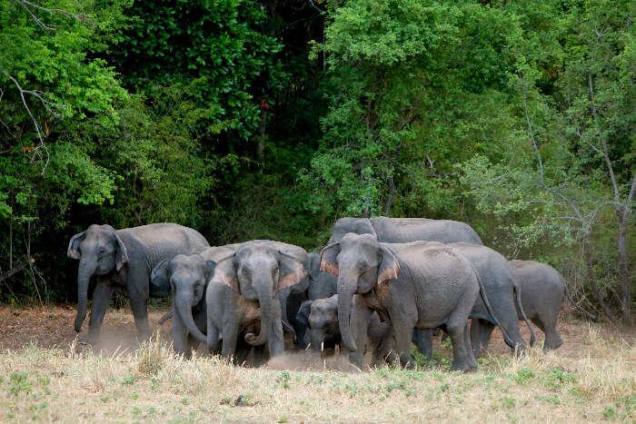 Elephant herd in Wasgamuwa National Park, Sri Lanka