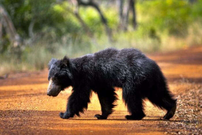 Wild bear in Yala National Park in Sri Lanka