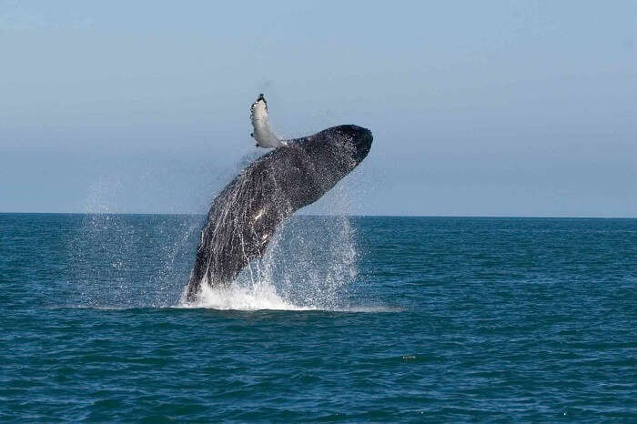 whale jumping from sea water