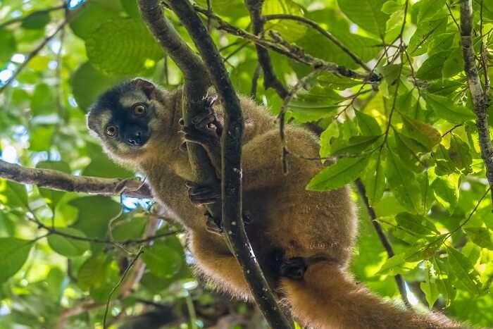 golden Lemurs in Ranomafana