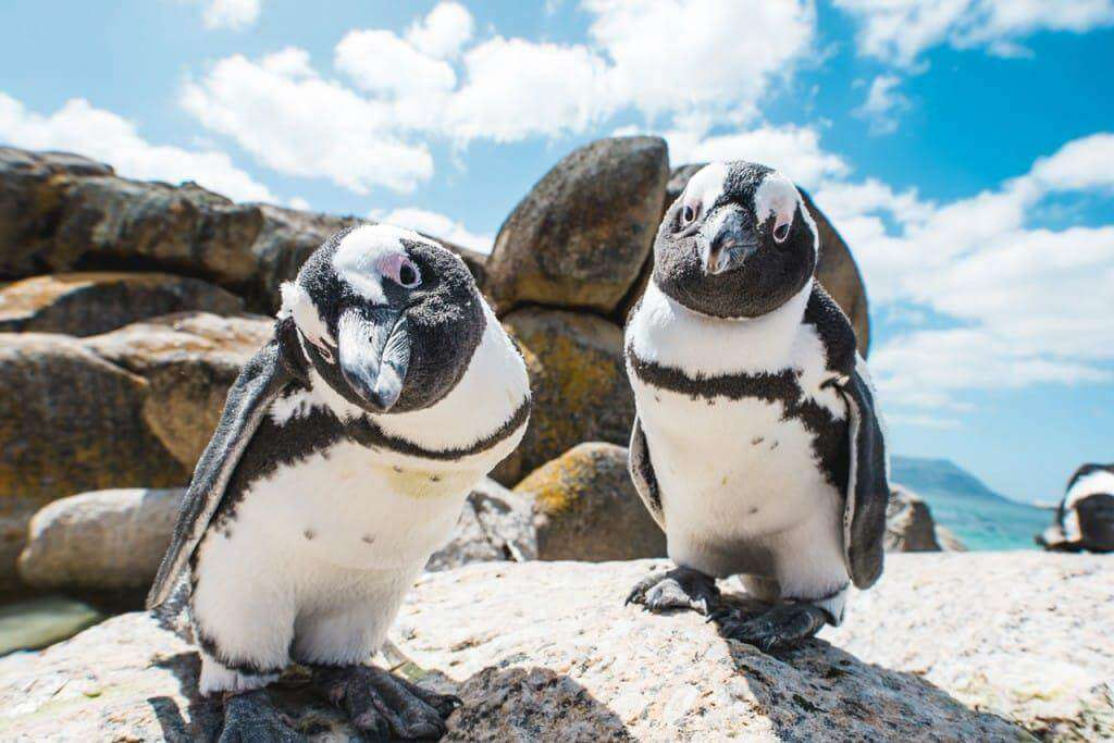 penguins , penguin colony, table mountain