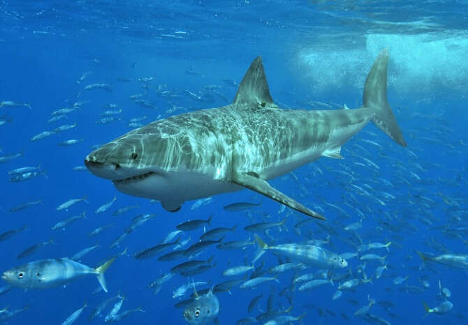 Amazing shark dives