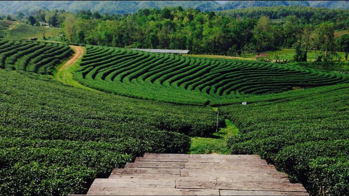 green tea farms
