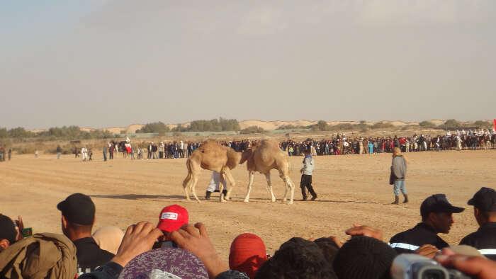 CamelWrestlingTurkishFestepb0310