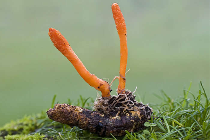 Cordyceps leaves have high medicinal value