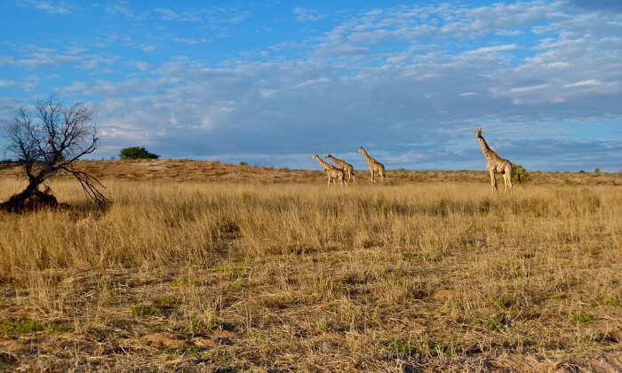How To Reach Kgalagadi Transfrontier Park