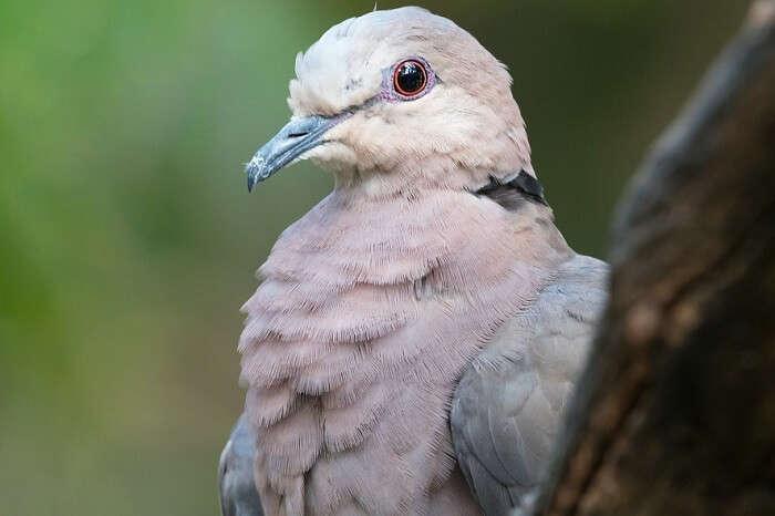 Pink-Pigeon