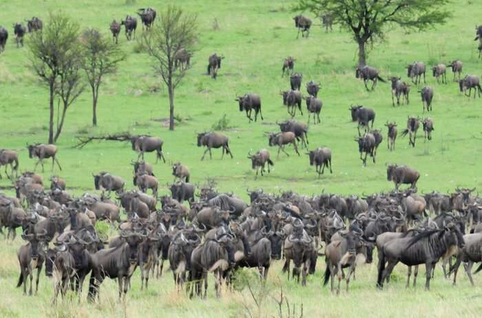 Experience the Great Wildebeest Migration