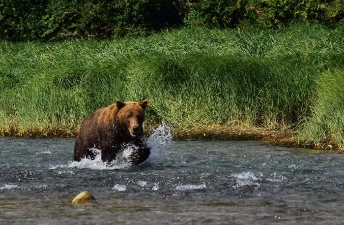 Bear running in water