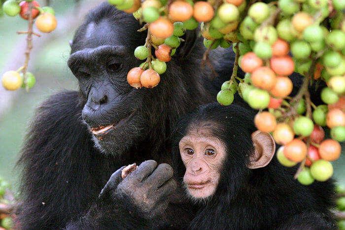 Monkeys_Apes_Chimpanzees_