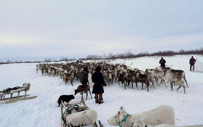 Reindeer at snow