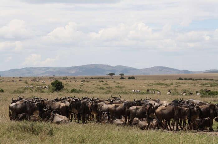 Watch the great Wildebeest migration