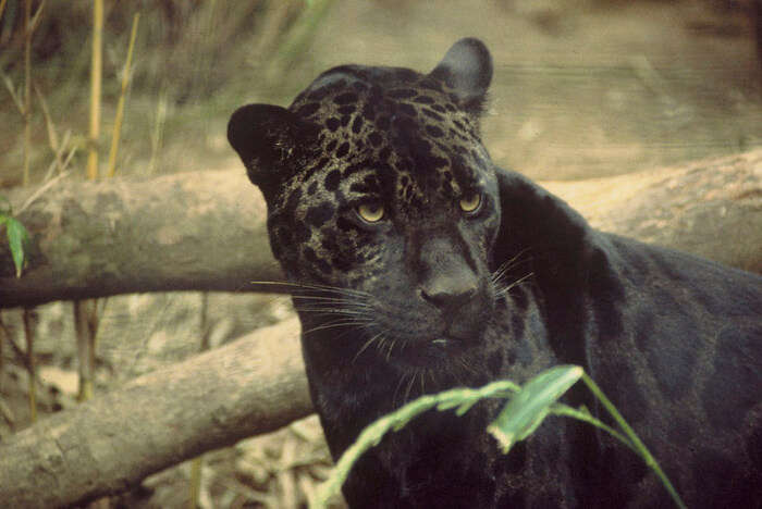 Black jaguar View