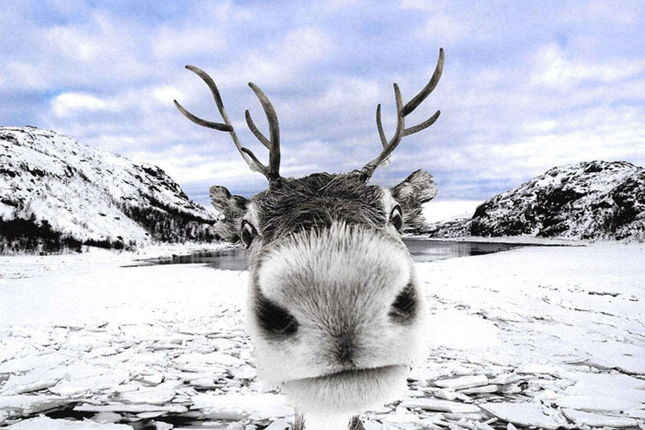 a reindeer face in snow