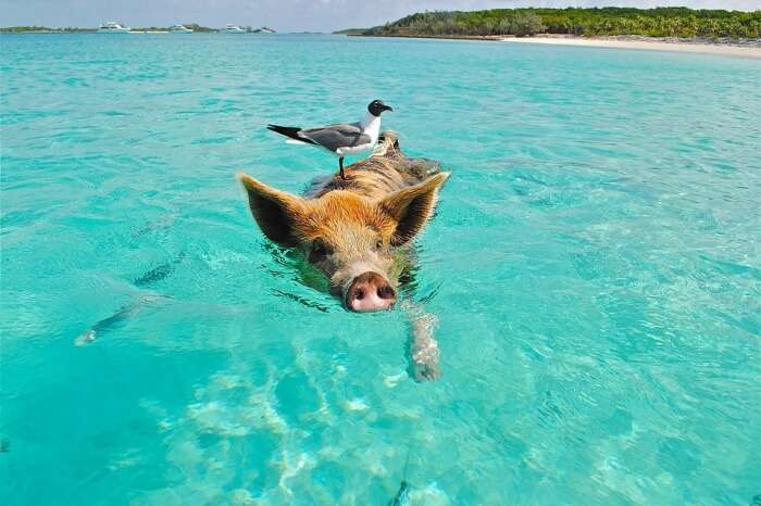 About The Pigs In Bahamas