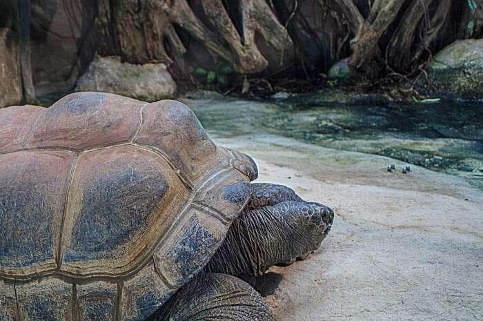 Seychelles Giant Tortoises Giant Tortoises