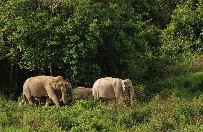 Wild Elephant Thailand Asia Nature