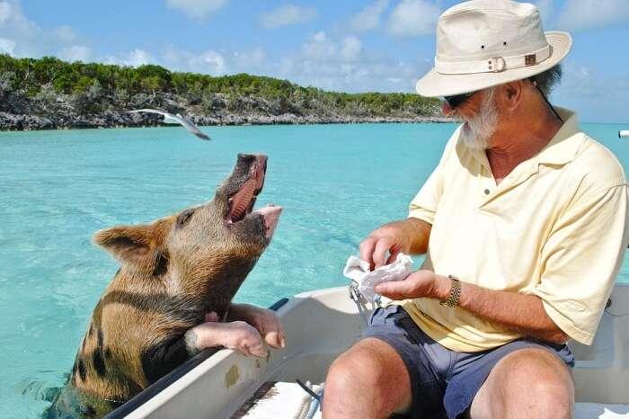 Exumas Bahamas Bahamas Staniel Cay Swimming Pig