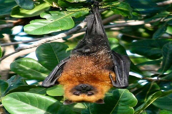 Fijian Monkey-Faced Flying Fox
