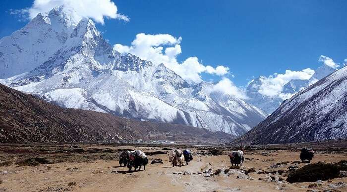 Himalayan_yaks_in_the_Everest_region