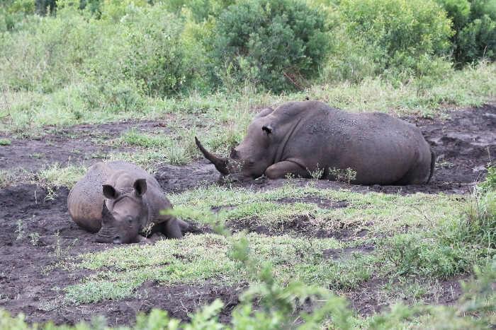 Rhinos at Hluhluwe Imfolozi Park