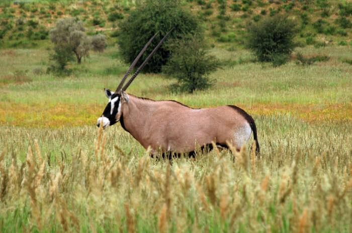 A animal at Kgalagadi Transfrontier Park