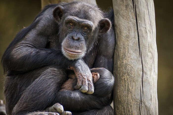 Mammal Primates Ape Zoo Chimpanzee Monkey