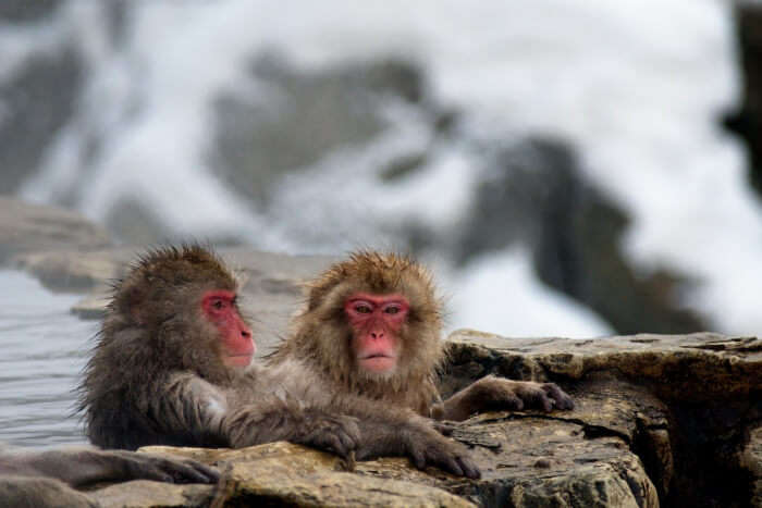 See snow monkeys at the Jigokudani Monkey Park