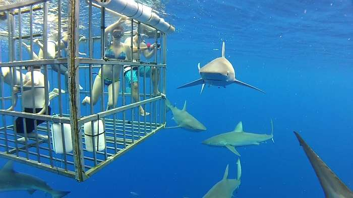Sharks outside cage