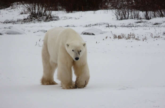 Spot the Churchill Polar Bears